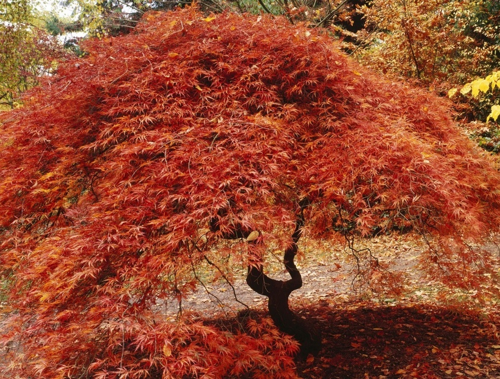 Fiche arbre - Arbre du japon ...