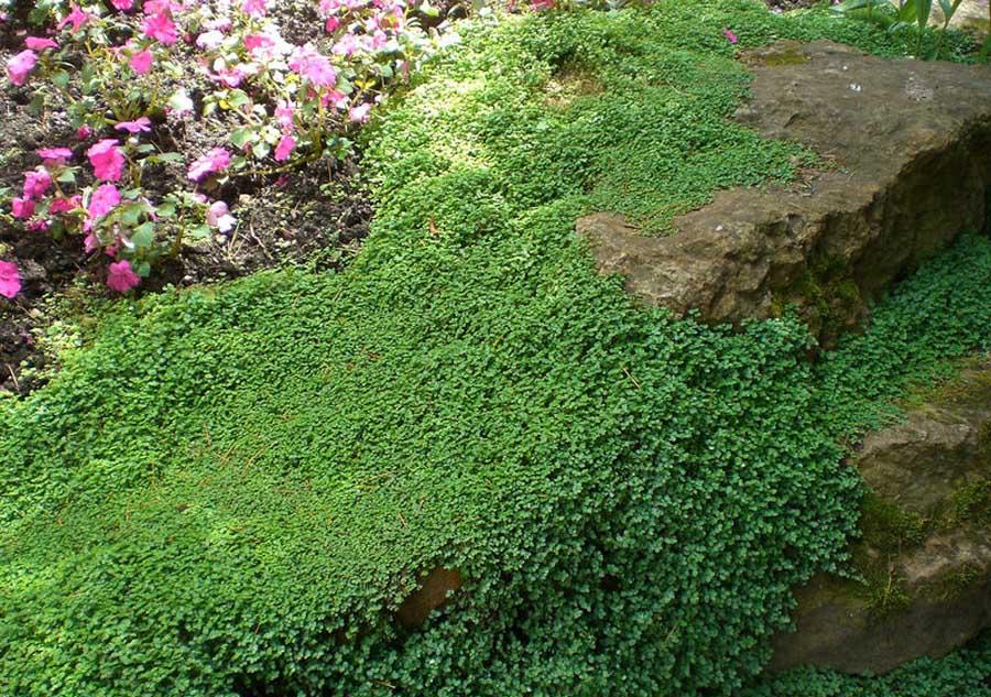 Fiche jardin japonais - Couvre sol jardin japonais ...