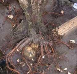 Fiche plantation arbre arbuste - Arbre sans racine envahissante ...
