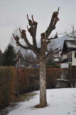 Fiche taille arbres - Comment tailler un arbre ...