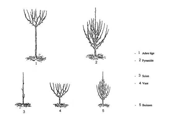Fiche taille arbres fruitiers for Taille de l abricotier