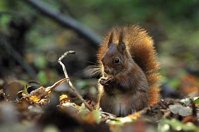 ecureuil roux regime alimentaire